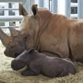 livraison rhinocéros
